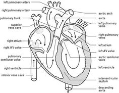 Human heart diagram, Heart diagram and Human heart on
