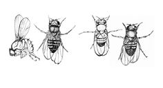 1000+ images about Drosophila are so fly on Pinterest
