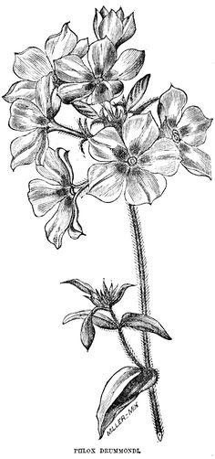 vintage flower clipart, early flowering chrysanthemum