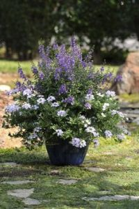 Tips for Planting Trees and Shrubs in Containers | Trees ...