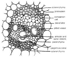 Collenchyma tissue of stem, cross-section, 100 X optical