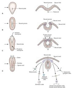 Spinal cord, Cross section and Pathways on Pinterest