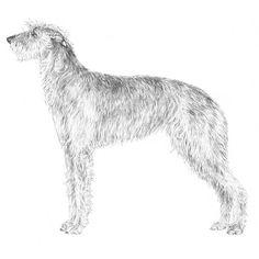 1000+ images about Scottish Deerhound on Pinterest