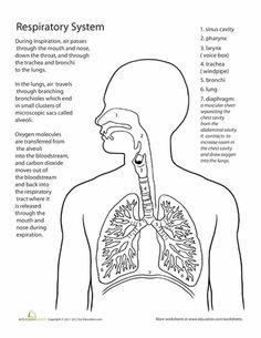 Organs of the Respiratory System And Their Functioning