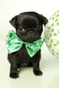 Pics For > Black Teacup Pugs