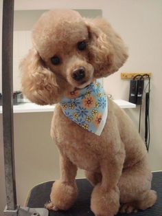 1000 images about potential haircuts for leo on pinterest poodles poodle haircut and poodle