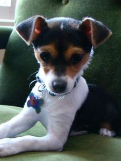 1000 Images About Jack Russell Chihuahua Mix On Pinterest