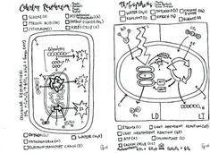Plant Cell coloring sheet Stomata/leaf cross section