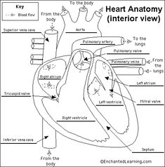 1000+ images about Anatomy sheets on Pinterest