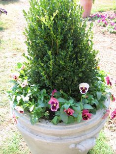 1000 Images About Dwarf Evergreens For Containers As A