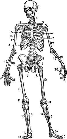Skeletons, Body parts and Human skeleton on Pinterest