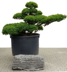 Bonsai De SHOP Gartenbonsai Kiefer Kiefer44 Gartenbonsai