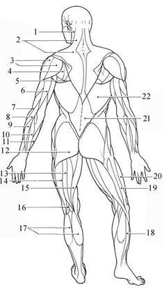 Human Muscle Anatomy Diagram Human Muscle Skeleton Diagram