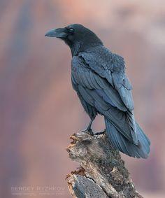 Common Raven  Christopher Martin Photography