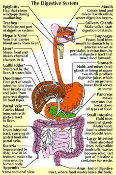diagram of the human body internal organs   biology ...