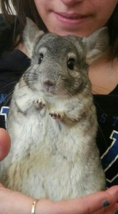 1000 images about Chinchilla Love on Pinterest