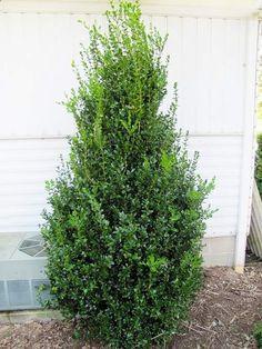 stunning evergreen shrub place