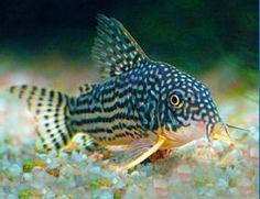 corydoras jenis ikan hias air tawar