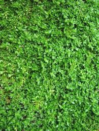 1000+ images about Garden: Ground covers, lawn ...