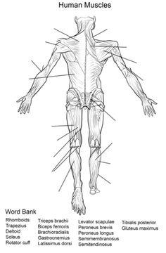 Muscle Anatomy Printable Muscle Diagram Worksheet The