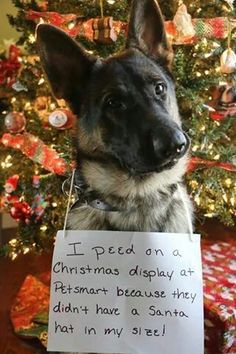 1000 Images About German Shepherd FunnyCLOSED On