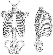 Vintage Human Skeletal 1 by Beinspyred.deviantart.com on