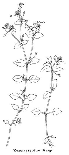 Print coloring page and book, Goldenrod Flowers Coloring