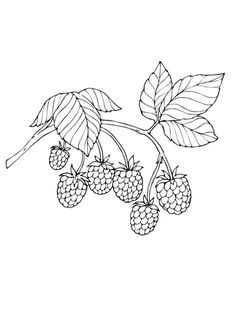 Printable pine cone coloring page. Free PDF download at