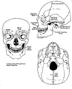 There are 29 bones (hyoid included) in the human skull