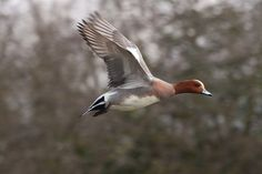 1000 images about Eurasian wigeon on Pinterest Ducks