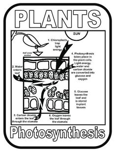 Plant cell, Quizes and Diagram online on Pinterest