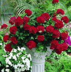 "Viva ""Big Red"" Geranium Sold At Home Depot Hybrid Red Geranium"