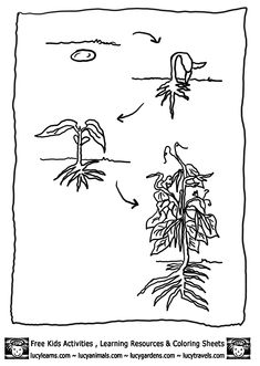 bean-plant-lifecycle-bean-coloring-page-1.gif (603×848)