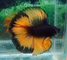1000+ images about FISH....BEAUTIFUL FISH on Pinterest ...
