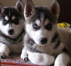 Cute Husky Puppies With Blue Eyes Wallpaper 1000 Images About Miniature Siberian Husky On Pinterest