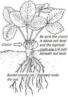 1000+ ideas about Strawberry Planting on Pinterest