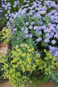 taxus x media 'densiformis' plant