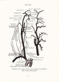 Above is my drawing of the subclavian artery branches and