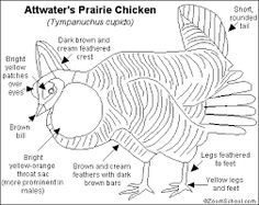 1000+ images about Save the Texas Prairie Chicken! on