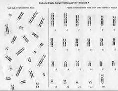 Chromosome, Mitosis, and Karyotype Analysis worksheet