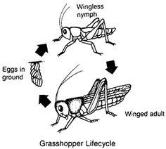 Grasshopper Life Cycle Diagram