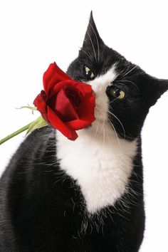 Cute Cat Hd Wallpapers For Mobile Love Tuxedo Cats Amp Black And White Cats On Pinterest