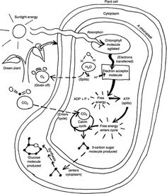Guide to Understanding Photosynthesis Light Dependent