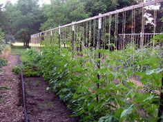 Pole Bean Trellis Drawing Gardening Pinterest Bean Stakes