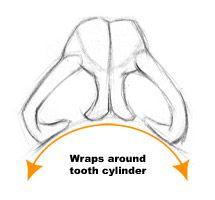 labeled: glabella, nasal bone, maxilla, nasal spine