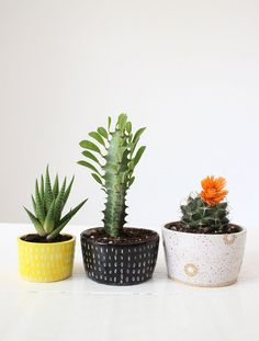 Small cactus and suc