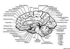 gyri and sulci, midsagittal view, cerebral hemisphere
