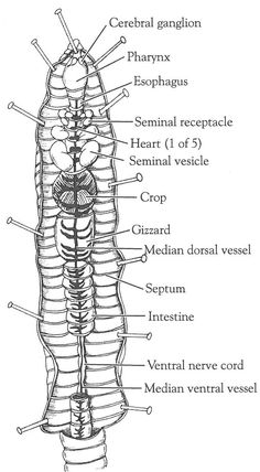External Anatomy of the Crayfish (Q worksheet w/answer key
