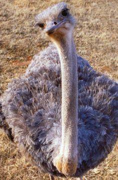 peacock bird diagram club car wiring 48 volt ostrich skeleton screenprint | pinterest ostriches and skeletons
