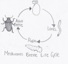 Montessori Materials Life Cycle of a Mealworm Cards